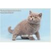 Продаются голубые британские котята.