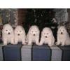 Продаются щенки самоеда из Эстонии