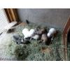 Продаются высокопородные щенки Западно-сибирской лайки от зверовых родителей с родословной