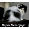 Роскошный персидский котик
