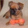 Роскошный щенок брюссельского гриффона - красавчик с черной бородкой!