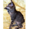 Котята без хвостика в дар