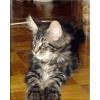 Мейн кун котята,  летняя распродажа