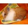 Рыжий кролик карликовый ангорский