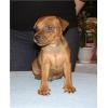 Карликового (миниатюрного)  пинчера щенки