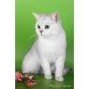 Британские котята редкого окраса - серебристый затушеванный!