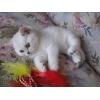 Британские котята редкого окраса - серебристый затушеванный