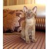 Бурманские котята (БУРМА)