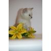Голубоглазый шотландский котенок.