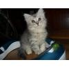 Котик редкого серебристого окраса полуперс-полусибиряк