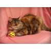 Молодая очень ласковая кошечка,  Народька,  1. 5 года