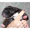 Мраморные и черные щенки немецкого дога.