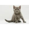 Очаровательный шотландский котенок.