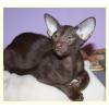 ориентальные котята питомник Korleoni