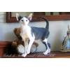 ориентальный котенок биколор