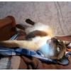 Отдам тайскую кошку в хорошие руки.