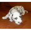 перспективный  щенок далматина,   мальчик