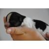 Предлагаются для резервирования изумительные щенки папийона,  мальчики окраса триколор.