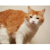 Рыжая Маня кошка в дар