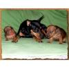 щенки цвергпинчера (карликовый,  миниатюрный пинчер