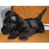 шотландского терьера(скотч) щенков с родословной