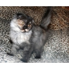 вислоухие длинношерстные котята