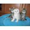 Продаются очаровательные шотландские вислоухие и прямоухие котята.