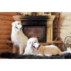 щенки мареммо-абруцкой овчарки от итальянского кобеля