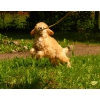 щенок карликового пуделя абрикосовый мальчик