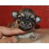Шикарные щенки чихуа с интересной импортной родословной