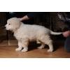 шикарный щенок мареммо-абруцкой овчарки от итальянского кобеля