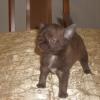 Шоколадные щенки чихуахуа-мальчик
