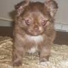 Шоколадный мальчик чихуахуа-плюшевый медвежонок