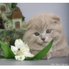 Шотландские вислоухие котята из Laoni
