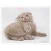 Шотландские вислоухие(скоттиш-фолд)  и скоттиш-страйт котята