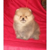Шпиц померанский миниатюрный,  щенки от титулованных родителей