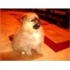 Шпиц померанский, возраст 2, 5 месяца.