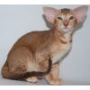 сиамские и ориентальные котята
