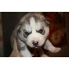 сибирский хаски  щенки окрас серо-белый и чёрно-белый