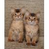 Солнечные  сомалийские коты в Ваш дом
