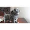 Только для Вас самые красивые щенки чихуахуа