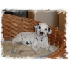 Продаётся щенок далматина
