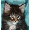 Великолепные Котята Мейн-кун