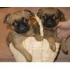 Великолепные щенки пти-брабансона от Чемпионов