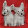 Вестики:  белоснежные щенки / вестхайленд вайт терьер