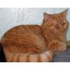 Вислоухие и британские котята - мрамор и другие