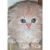 Вислоухий,  британский котенок - разные окрасы