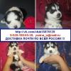 Сибирской хаски щенков разных окрасок продам