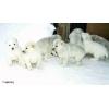 высокопородные щенки от Туркменского аборигена!