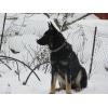 Высокопородный щенок восточноевропейской овчарки